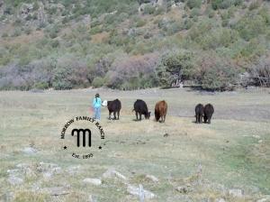 MFR herd in pasture
